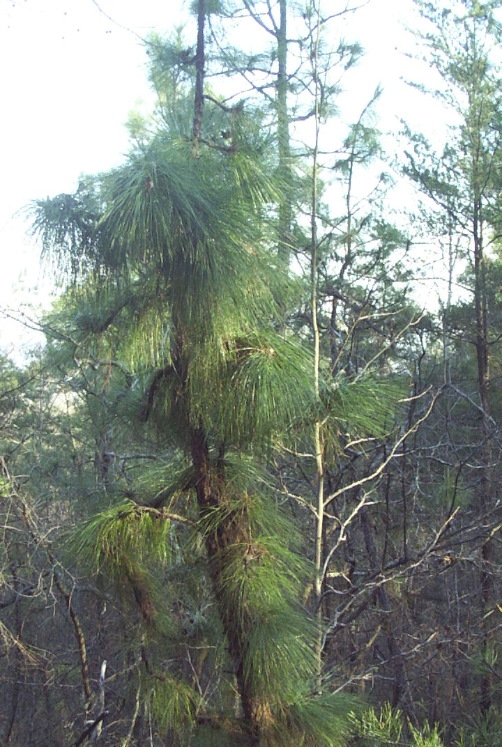 Mountain longleaf pine